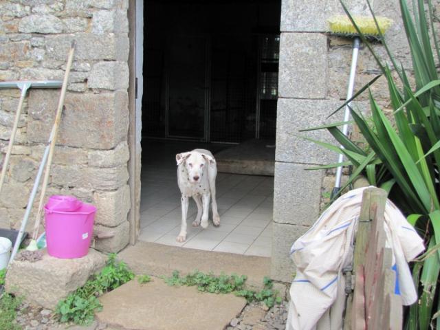 PONGO-Dalmatien M 12 ans-Refuge d'Allaire(56)- Soins urgents Img_1523-2c40222