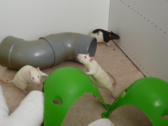 6 rates de laboratoire (3 albinos 3 hooded noir) - RP et + 020-293de7e